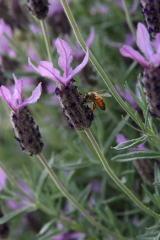 ラベンダー&ミツバチ